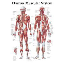 Muscular System Chart x 1
